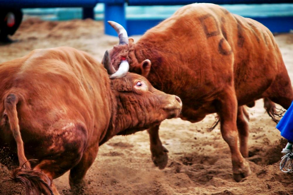 Cheongdo Bullfighting