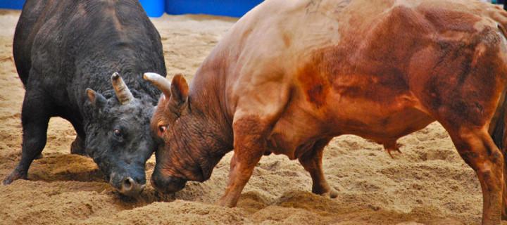 Cheongdo Bullfighting Tour