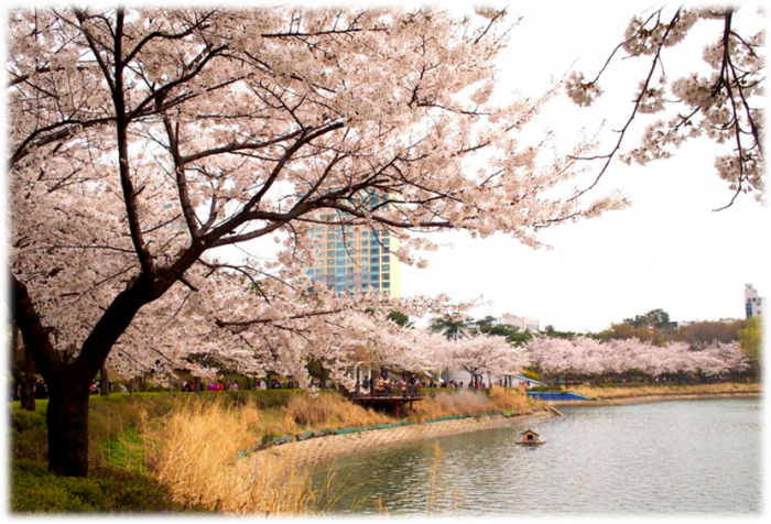 cherry blossoms in Seoul